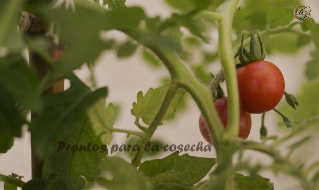 primer cosecha de tomates cherry